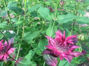 I'm pretty sure my bee balm will be back, also. It keeps spreading so I'm going to have to share some divisions.
