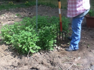 Mom convinced me that I needed to thin out my bee balm. Here she is, lifting a corner of the clump.