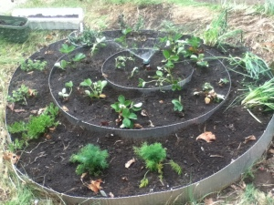 Mom and I distributed herbs around the outside ring and replanted the strawberries on the inner two rings.