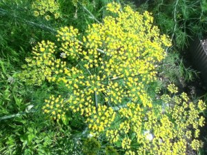 I might try harvesting seeds as well as leaves from my dill this year.