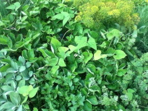 The mint is in the lower right hand corner of this mound of green things.  Trust me. I planted it there!