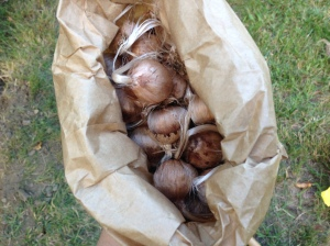 Here is the bag of bulbs, as received from Baker Creek. I looked them all over prior to planting. None looked damaged or moldy, so each one was planted.